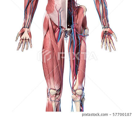 Human Anatomy,  Limbs and hip skeletal, muscular and cardiovascular systems. Viewed from the front. 57700187