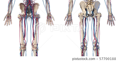 Human body anatomy. Hip, legs and hands Skeleton with veins and arteries. Front and back views. 57700188