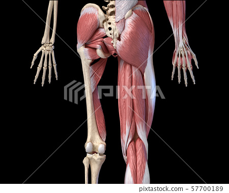 Human male anatomy, limbs and hip muscular and skeletal systems, back view. 57700189