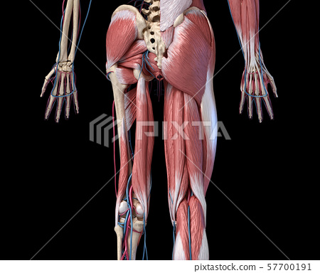 Human Anatomy,  Limbs and hip skeletal, muscular and cardiovascular systems. Viewed from the back. 57700191