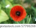 Red poppy 57700266