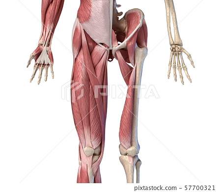 Human male anatomy, limbs and hip muscular and skeletal systems, Front view. 57700321