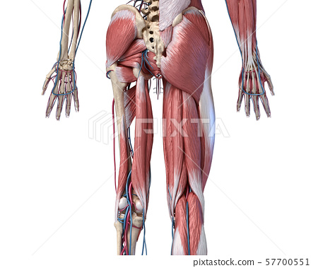 Human Anatomy,  Limbs and hip skeletal, muscular and cardiovascular systems. Viewed from the back. 57700551