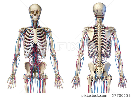 Human body anatomy. Skeleton with veins and arteries. Front and back views. 57700552