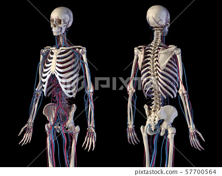 Human body anatomy. Skeleton with veins and arteries. Front and back perspective views. 57700564
