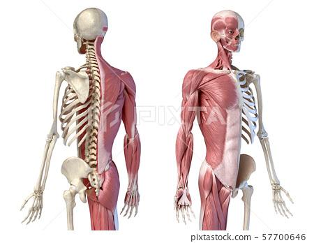 diagram of male skeleton human male anatomy  3 4 figure muscular and stock  human male anatomy  3 4 figure muscular