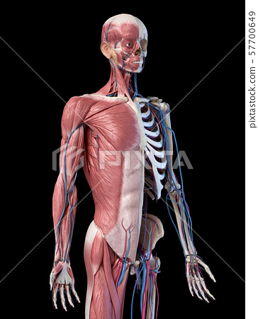 Human 3/4 body skeleton with muscles, veins and arteries. 3d Illustration 57700649