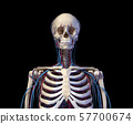 Human torso anatomy. Skeleton with veins and arteries. Front view 57700674