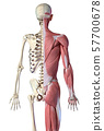 Human male anatomy, 3/4 figure muscular and skeletal systems, rear view. 57700678