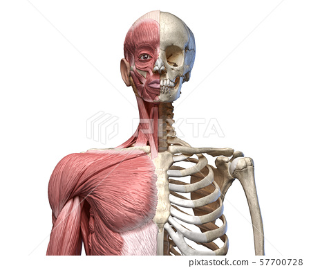 Human body, torso skeletal and muscular systems, front view 57700728