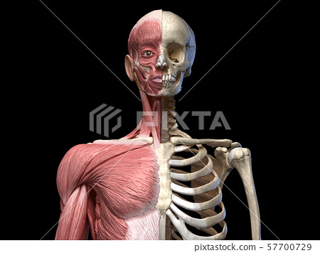 Human body, torso skeletal and muscular systems, front view 57700729