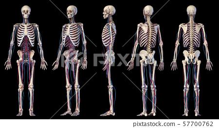Human body anatomy. Skeleton with veins and arteries. Five angles views. 57700762