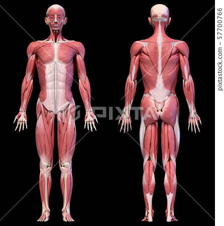 Human body, full figure male muscular system, front and back views. 57700766
