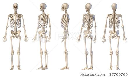 Human male skeleton full figure. Five views. 57700769