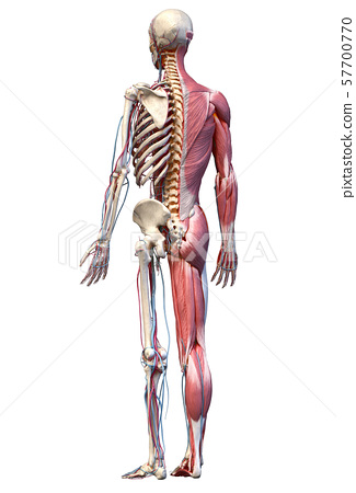 Human full body skeleton with muscles, veins and arteries. 3d Illustration 57700770