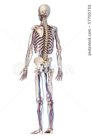Human body anatomy. Skeleton with veins and arteries. Back perspective view. 57700788