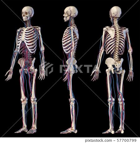 Human body anatomy. Skeleton with veins and arteries. Three angles views. 57700799