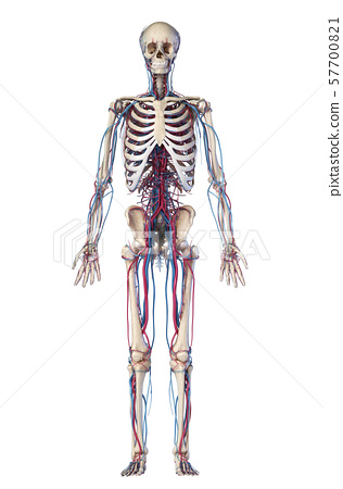 Human body anatomy. Skeleton with veins and arteries. Front view. 57700821