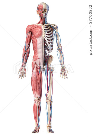 3d Illustration of Human full body skeleton with muscles, veins and arteries. 57700832