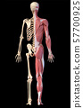 Anatomy of human male muscular and skeletal systems, back view. 57700925