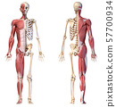 Anatomy of human male muscular and skeletal systems, front and rear views. 57700934