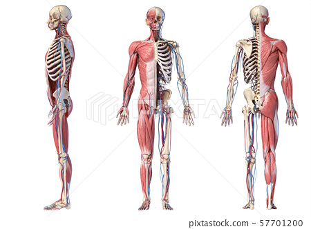 3d Illustration of Human full body skeleton with muscles, veins and arteries. 57701200