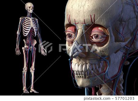 Human skull close up with full skeletal and cardiovascular systems. 57701203
