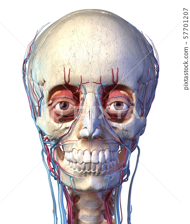 Human skull with eyes, veins and arteries. Front view. 57701207