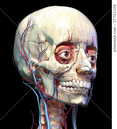 Human skull with eyes, veins and arteries. Perspective view. 57701208