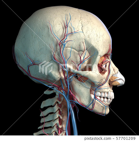 Human skull with eyes, veins and arteries. Side view. 57701209