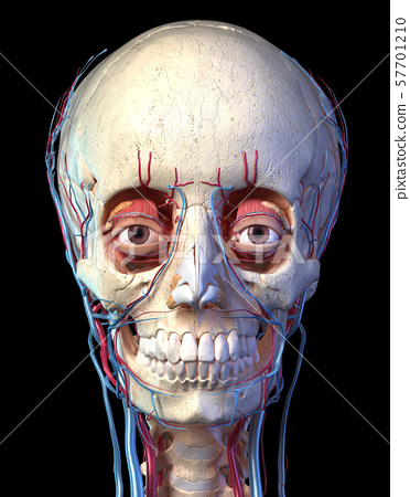 Human skull with eyes, veins and arteries. Front view. 57701210