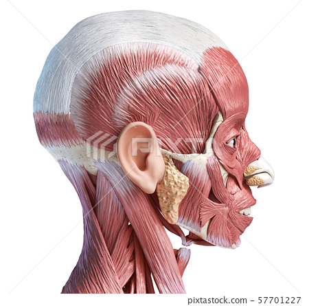 Human head muscles, eyes and nose cartilages. Side view. 57701227