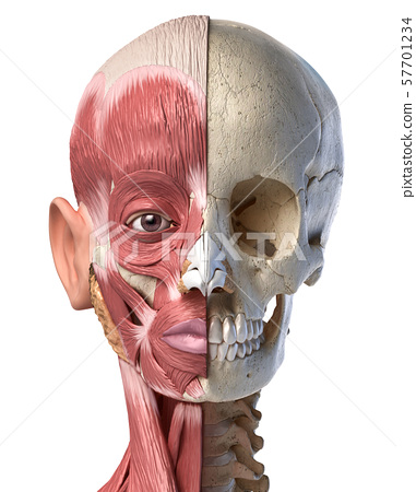 Human head muscles and skull. Front view. 57701234