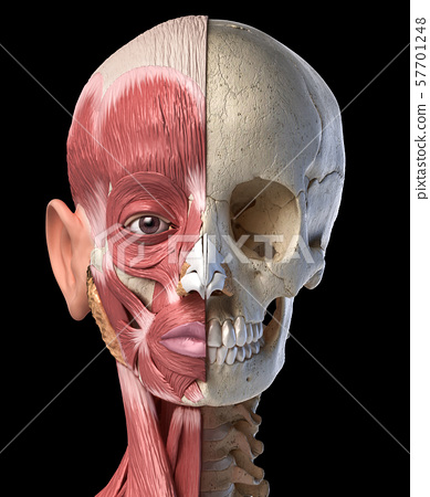 Human head muscles and skull. Front view. 57701248