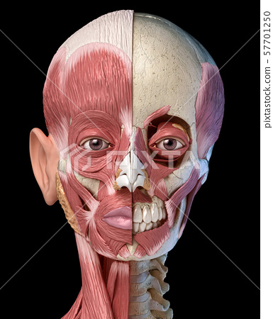 Human head muscular system on skull. Front view. 57701250