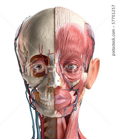 Human head with skull, facial muscles, eyes and blood vessels. 57701257