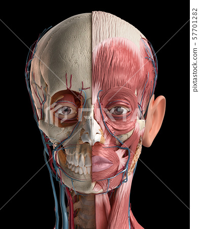 Human head with skull, facial muscles, eyes and blood vessels. 57701282