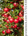 Shiny delicious apples hanging from a tree branch 57701430