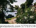 beautiful Oleander flower 57703538