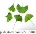 Green Ginkgo Biloba Isolated On White Background 57706884