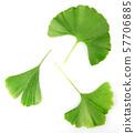 Green Ginkgo Biloba Isolated On White Background 57706885