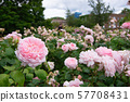 Blooming pink roses in an English garden 57708431