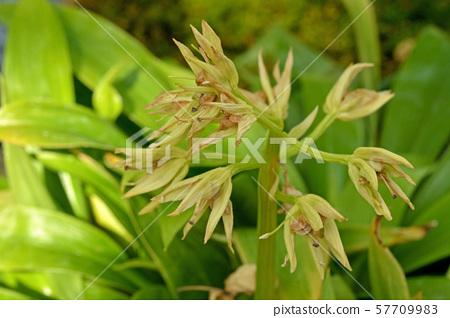 植物:果蠅(Drosophila melanogaster),葫蘆科(Cranaceae),筑波實驗植物園(Tsukuba Experimental Botanical Garden) 57709983