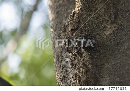 長甲蟲 57713031