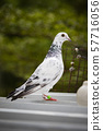 full body of homing pigeon standing on home loft 57716056