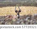 Mountain nyala, Ethiopia, Africa wildlife 57720321