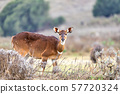 Mountain nyala, Ethiopia, Africa wildlife 57720324