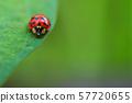 瓢蟲 57720655