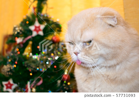 Dissatisfied angry cat with his tongue sticking 57731093