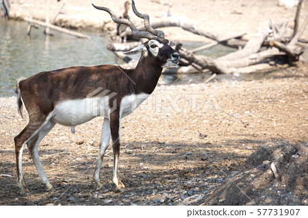 The Blackbuck deer standing in front of the lake. 57731907